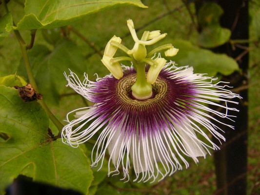 Passion Flower, Costa Rica, Costa Rica Nature Tour, Costa Rica Birding Tour, Winter Costa Rica Tour, Naturalist Journeys