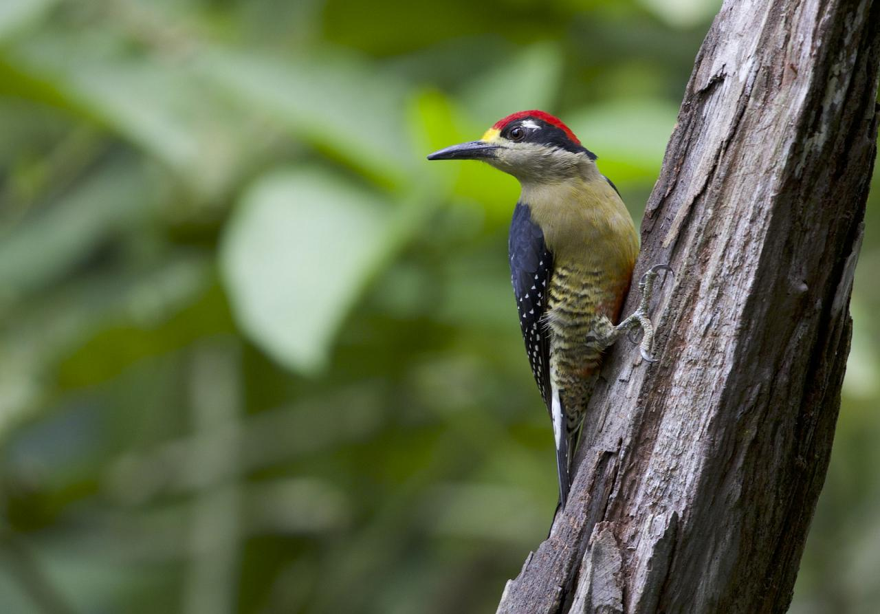 Black-cheeked Woodpecker, Costa Rica, Costa Rica Birding Tour, Costa Rica Nature Tour, Winter Costa Rica Tour, Naturalist Journeys