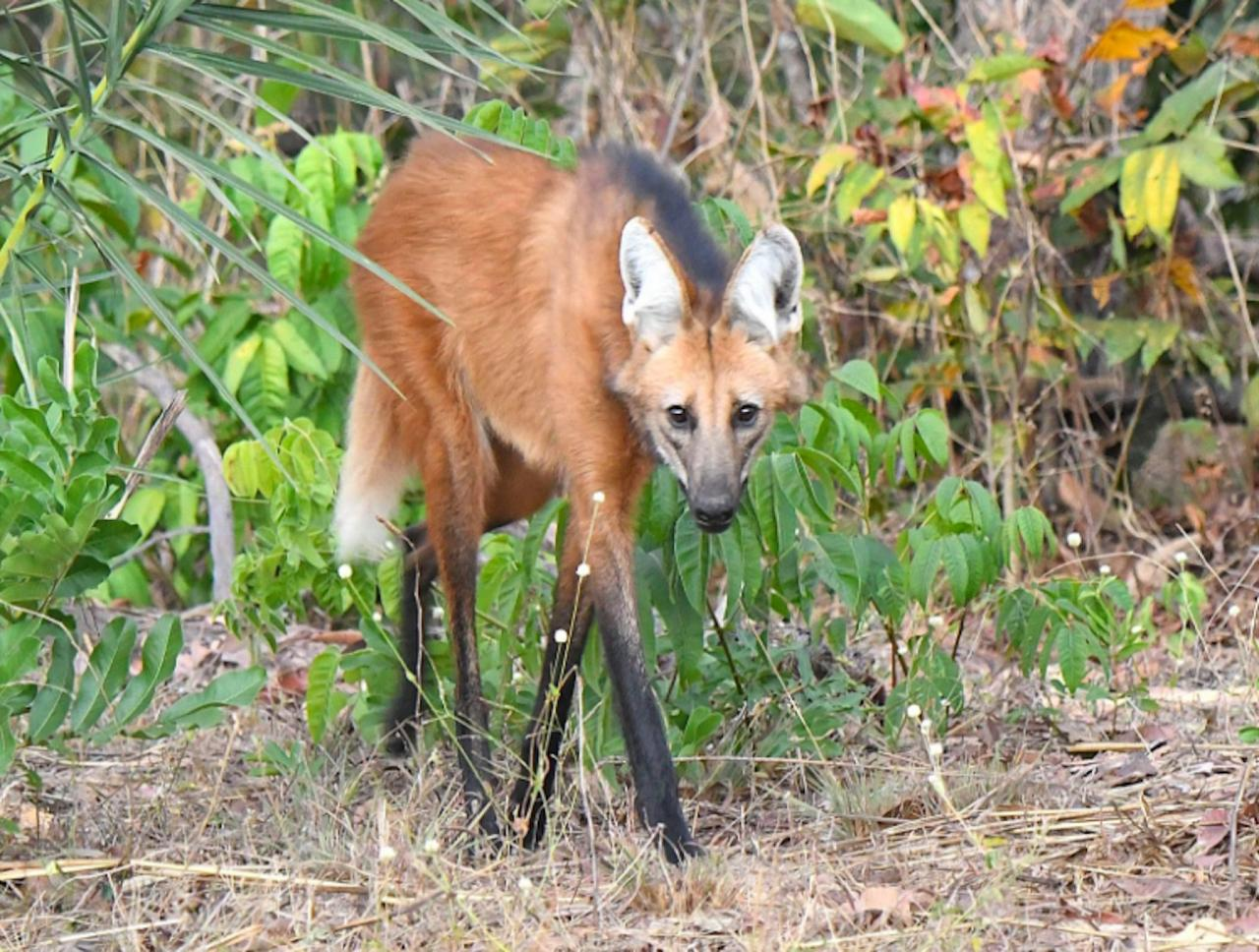 Maned Wolf, Brazil, Pantanal, Brazil Wildlife Tour, Pantanal Wildlife Tour, Brazil Nature Tour, Pantanal Nature Tour, Naturalist Journeys