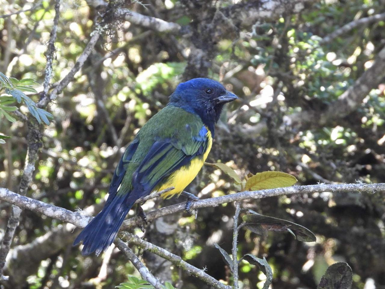 Blue-winged Mountain Tanager, Ecuador, Ecuador Birding Tour, Ecuador Nature Tour, Cuenca, Quito, Naturalist Journeys