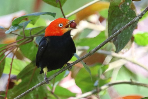 Red-capped Manakin, Guatemala Birding Tour, Guatemala, Naturalist Journeys