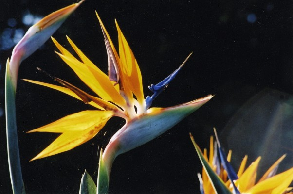 Bird of Paradise Plant, Guatemala Birding Tour, Guatemala, Naturalist Journeys