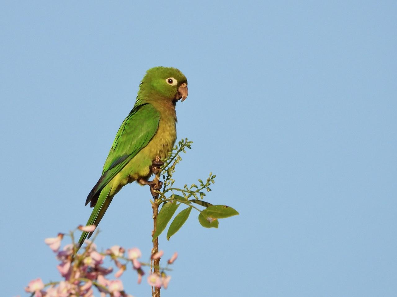 Olive-throated Parakeet, Guatemala, Guatemala Nature Tour, Guatemala Birding Tour, Naturalist Journeys