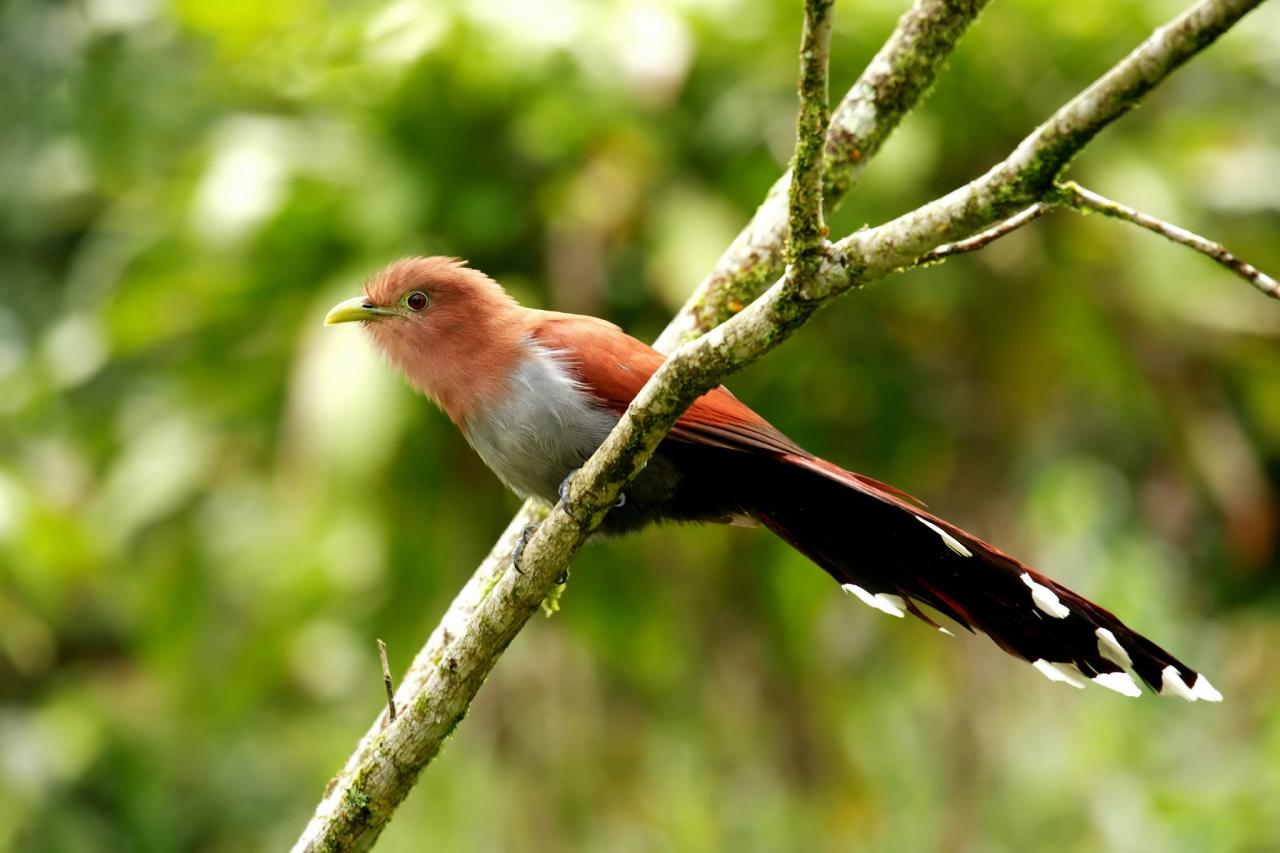Squirrel Cuckoo, Guatemala, Guatemala Nature Tour, Guatemala Birding Tour, Naturalist Journeys