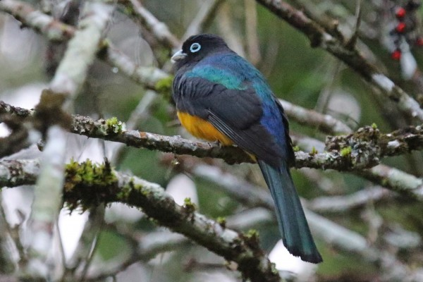 Black-headed Trogon, Guatemala, Guatemala Nature Trip, Guatemala Birding Trip, Tikal Nature Tour, Tikal Birding Tour, Naturalist Journeys