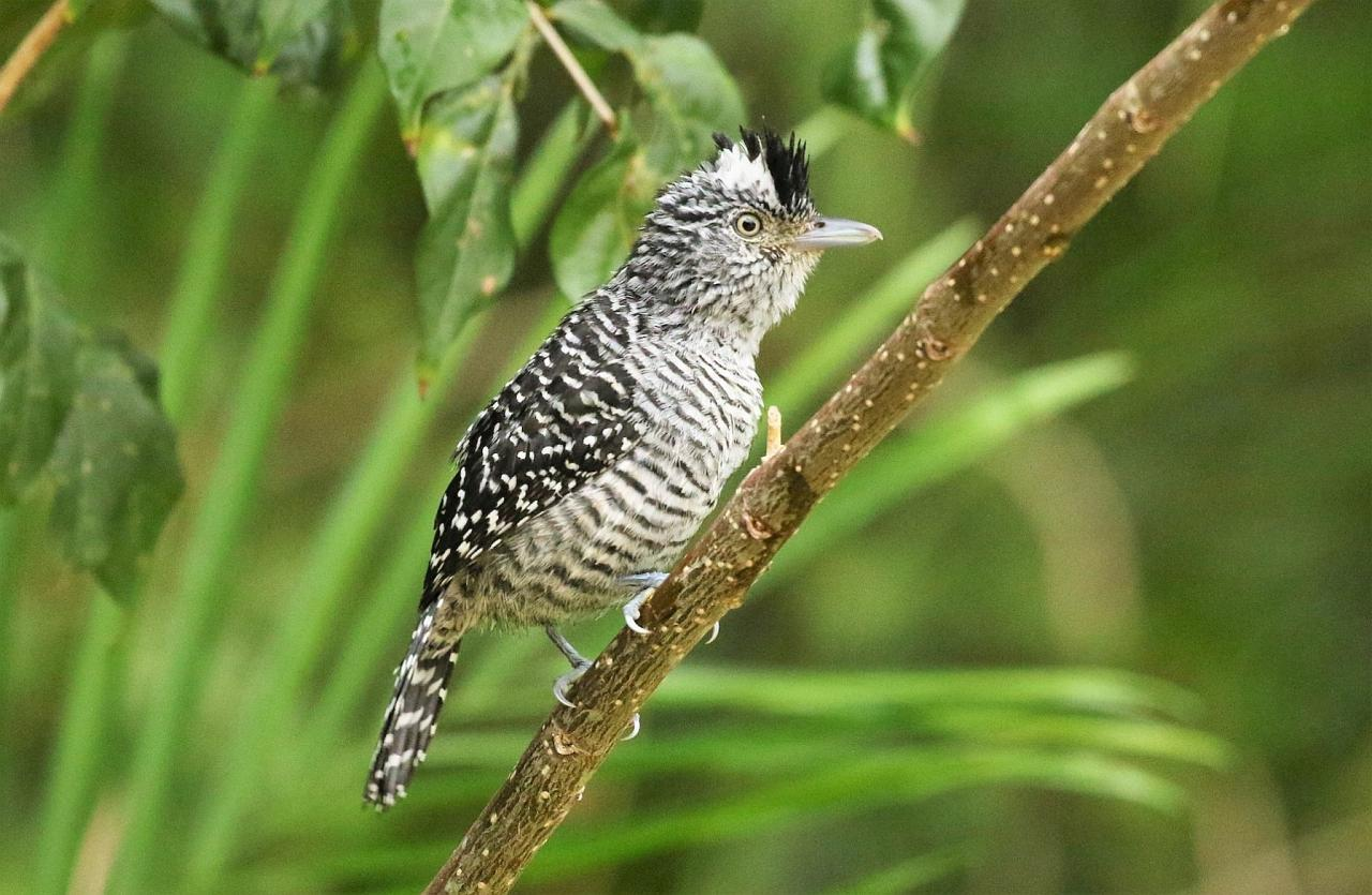 Barred Antshrike, Guatemala Nature Tour, Guatemala Birding Tour, Birding Tikal, Naturalist Journeys