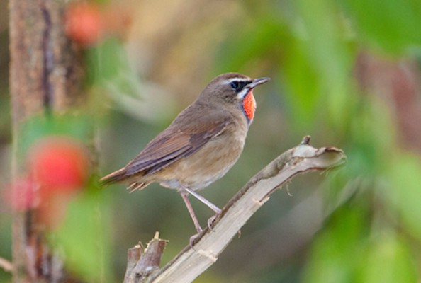 Siberian Rubythroat, India Nature Tour, India Wildlife Tour, India Wildlife Safari, Naturalist Journeys