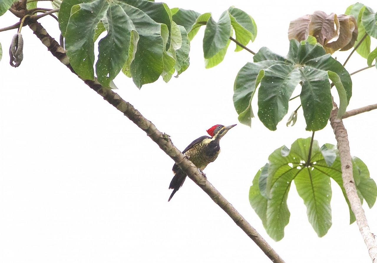 Lineated Woodpecker, Costa Rica, Costa Rica Birding Tour, Costa Rica Nature Tour, Costa Rica Tour, Naturalist Journeys