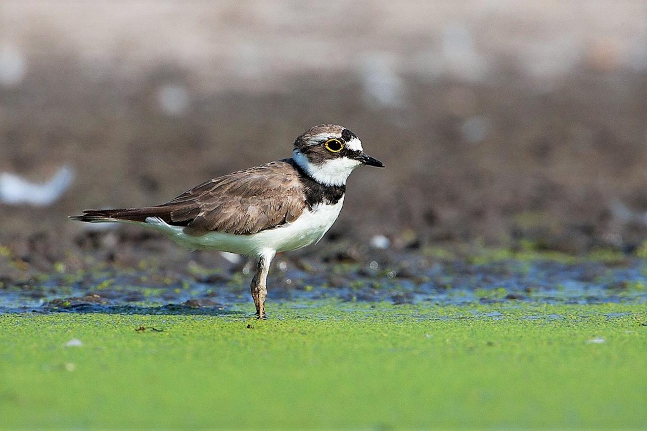 Little RInged Plover, Austria, Hungry, European Nature Tour, European Birding Tour, European Wildlife Tour, Austria Birding Tour, Hungary Birding Tour, Naturalist Journeys