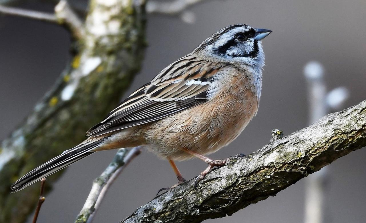 Rock Bunting, Austria, Hungry, European Nature Tour, European Birding Tour, European Wildlife Tour, Austria Birding Tour, Hungary Birding Tour, Naturalist Journeys