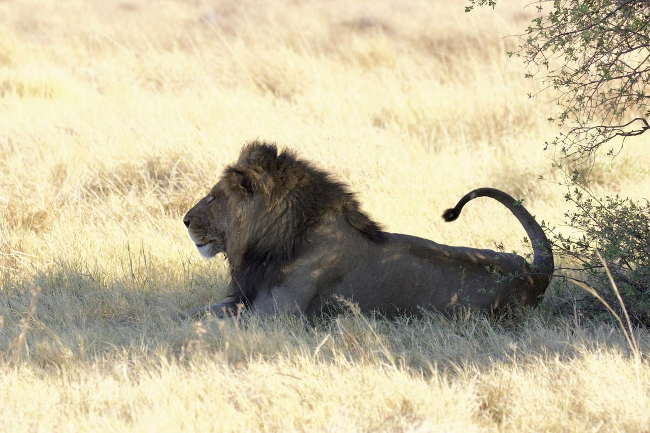 African Lion South Africa, South Africa Safari, Naturalist Journeys, South Africa Wildlife
