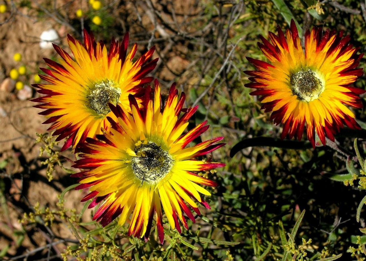 Drosanthemum, South Africa, South Africa Safari, Naturalist Journeys, South Africa Wildlife