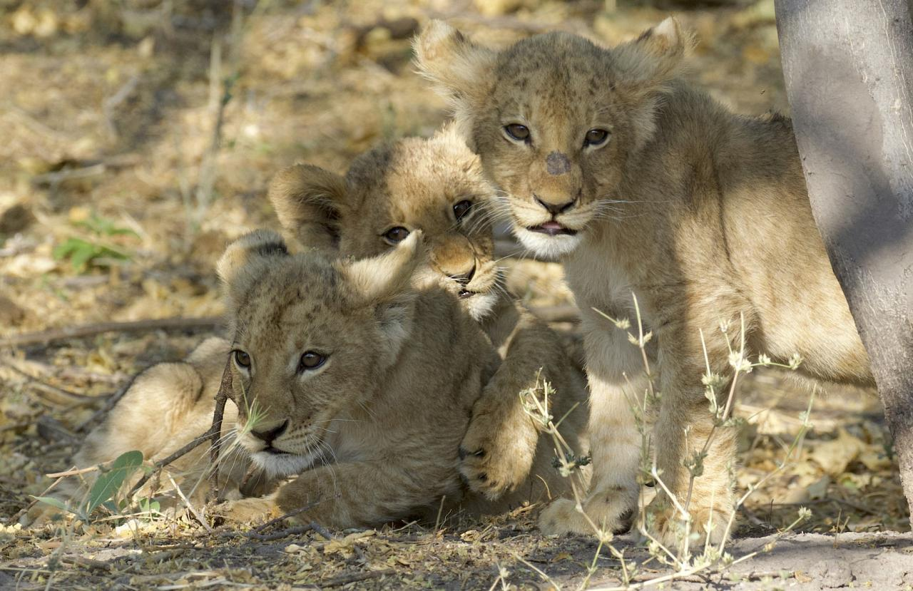 African Lion, South Africa, South Africa Safari, Naturalist Journeys, Wildlife Tour, South Africa Wildlife