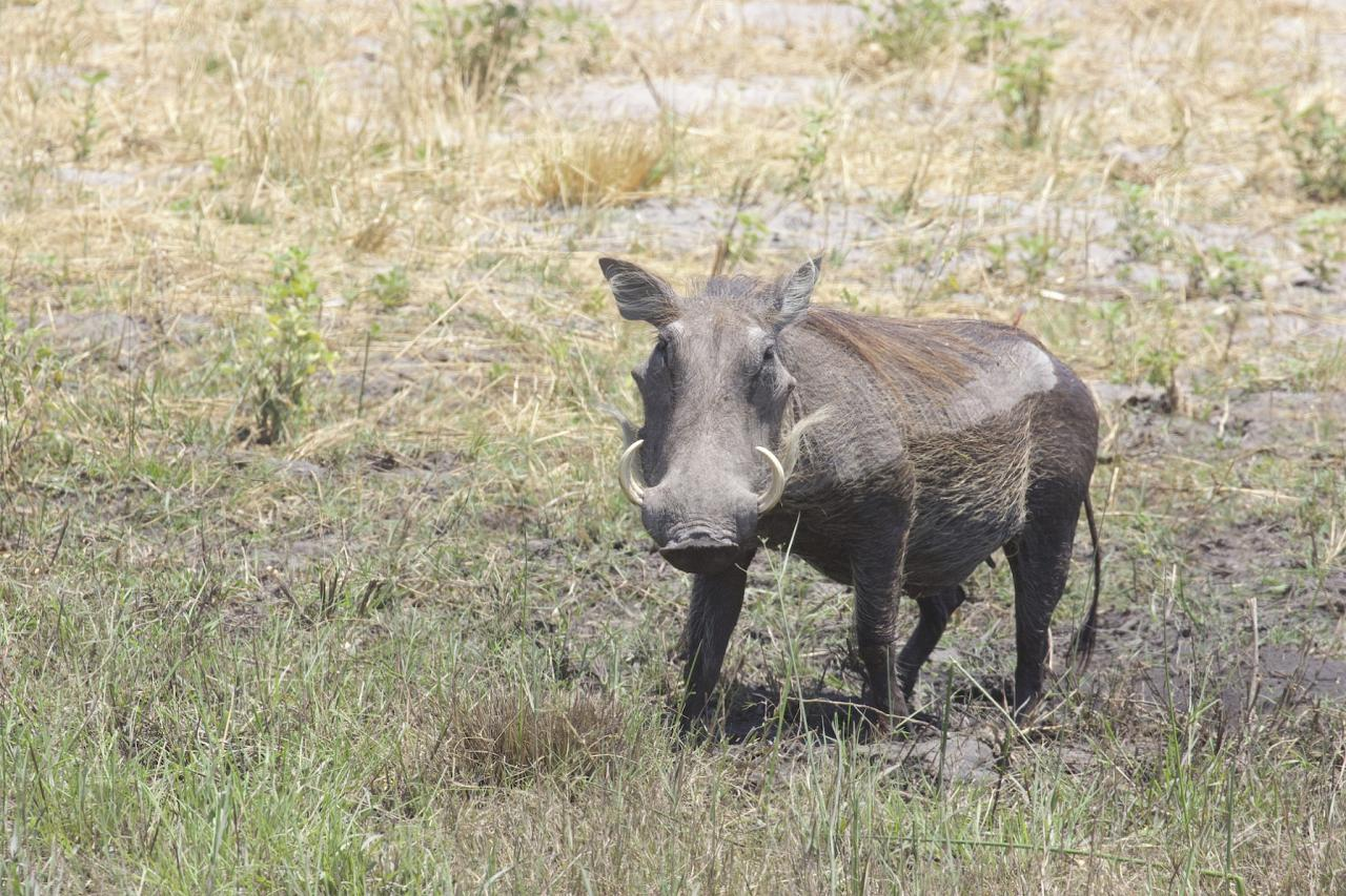 Warthog, South Africa, South Africa Safari, Naturalist Journeys,  South Africa Wildlife