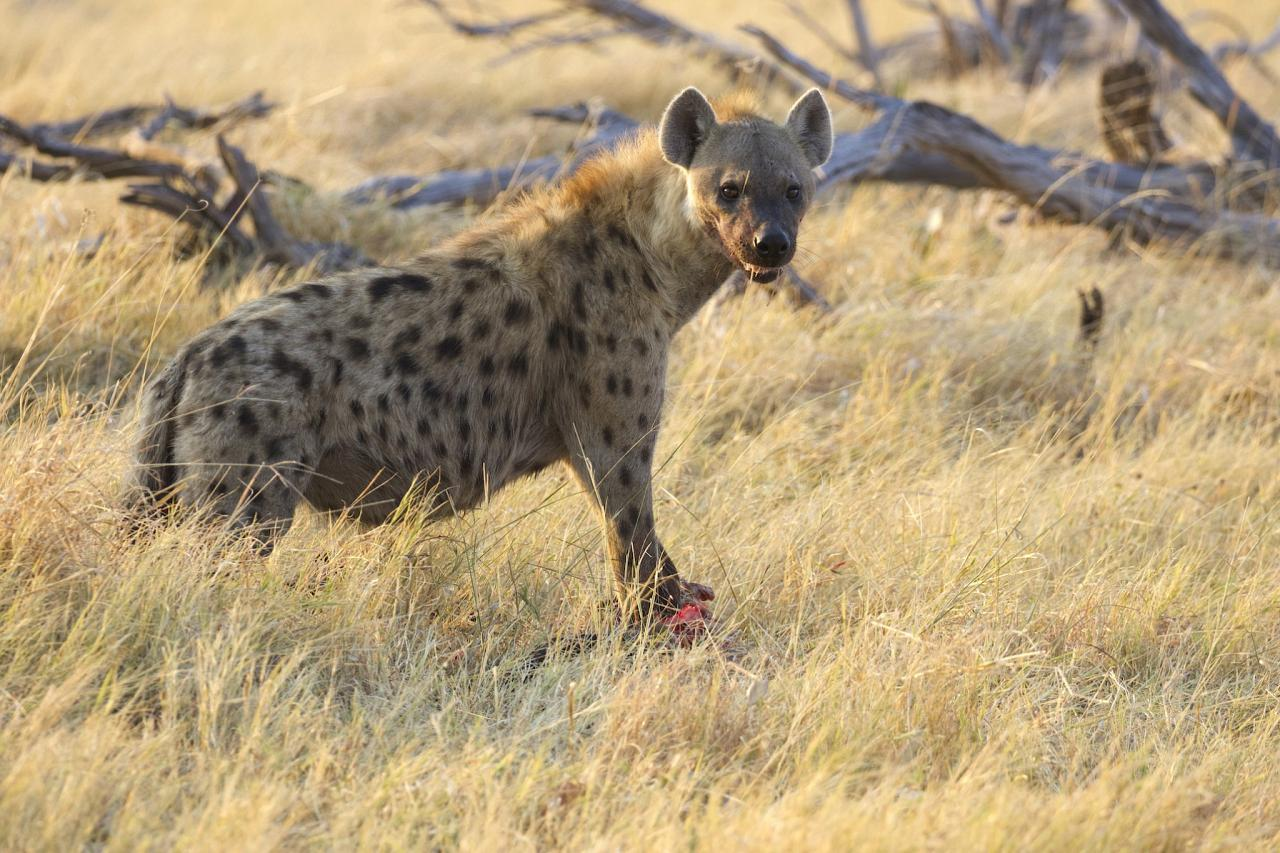 Spotted Hyena, South Africa, South Africa Safari, Naturalist Journeys, Wildlife Tour, South Africa Wildlife