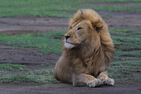 Lion, Uganda, Uganda Safari, Uganda Wildlife Tour, Uganda Nature Tour, Naturalist Journeys
