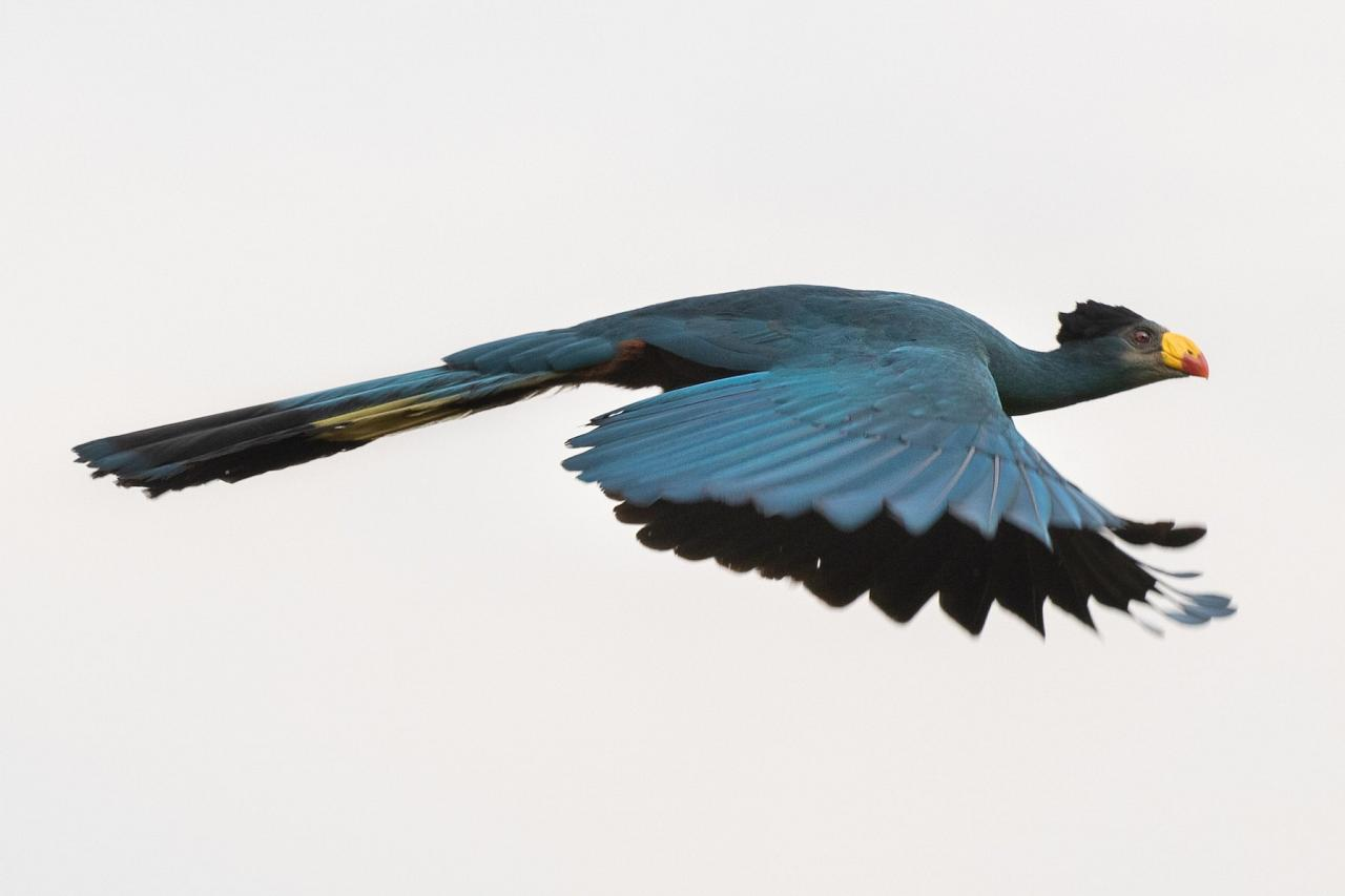 Great Blue Turaco, Uganda Nature Tour, Uganda Birding Tour, Uganda Safari, Uganda Gorilla Tour, Naturalist Journeys