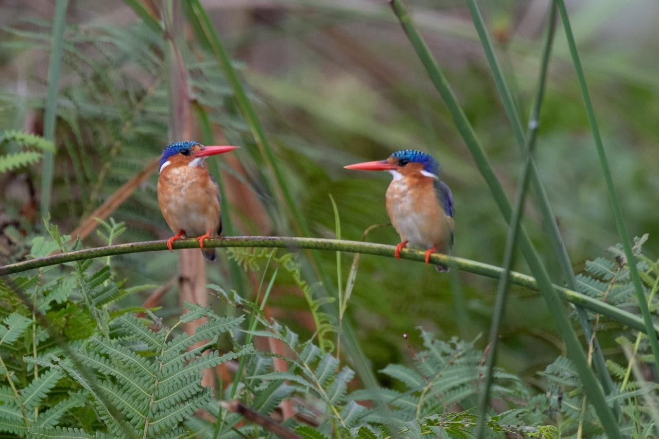 Malachite Kingfisher, Uganda Nature Tour, Uganda Birding Tour, Uganda Safari, Uganda Gorilla Tour, Naturalist Journeys