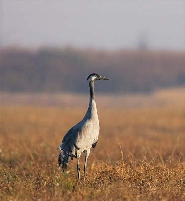 Common Crane, Finland Birding Tour, Finland Nature Tours, Naturalist Journeys, Europe Birding, Norway, Norway Birding Tour