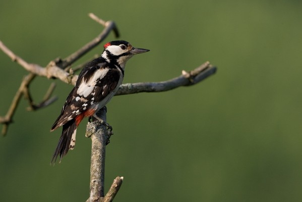 Great Spotted Woodpecker, Finland Birding Tour, Finland Nature Tours, Naturalist Journeys, Europe Birding, Norway, Norway Birding Tour