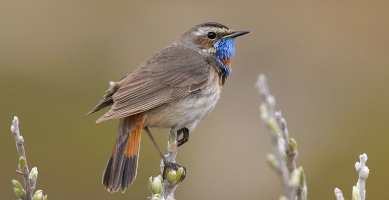 Bluethroat, Finland Birding Tour, Finland Nature Tours, Naturalist Journeys, Europe Birding, Norway, Norway Birding Tour