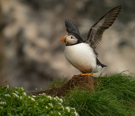 Atlantic Puffin, Finland Birding Tour, Finland Nature Tours, Naturalist Journeys, Europe Birding, Norway, Norway Birding Tour
