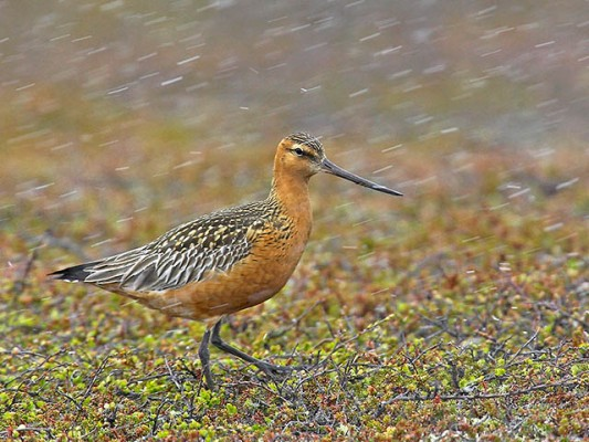 Bar-tailed Godwit, Finland Birding Tour, Finland Nature Tours, Naturalist Journeys, Europe Birding, Norway, Norway Birding Tour