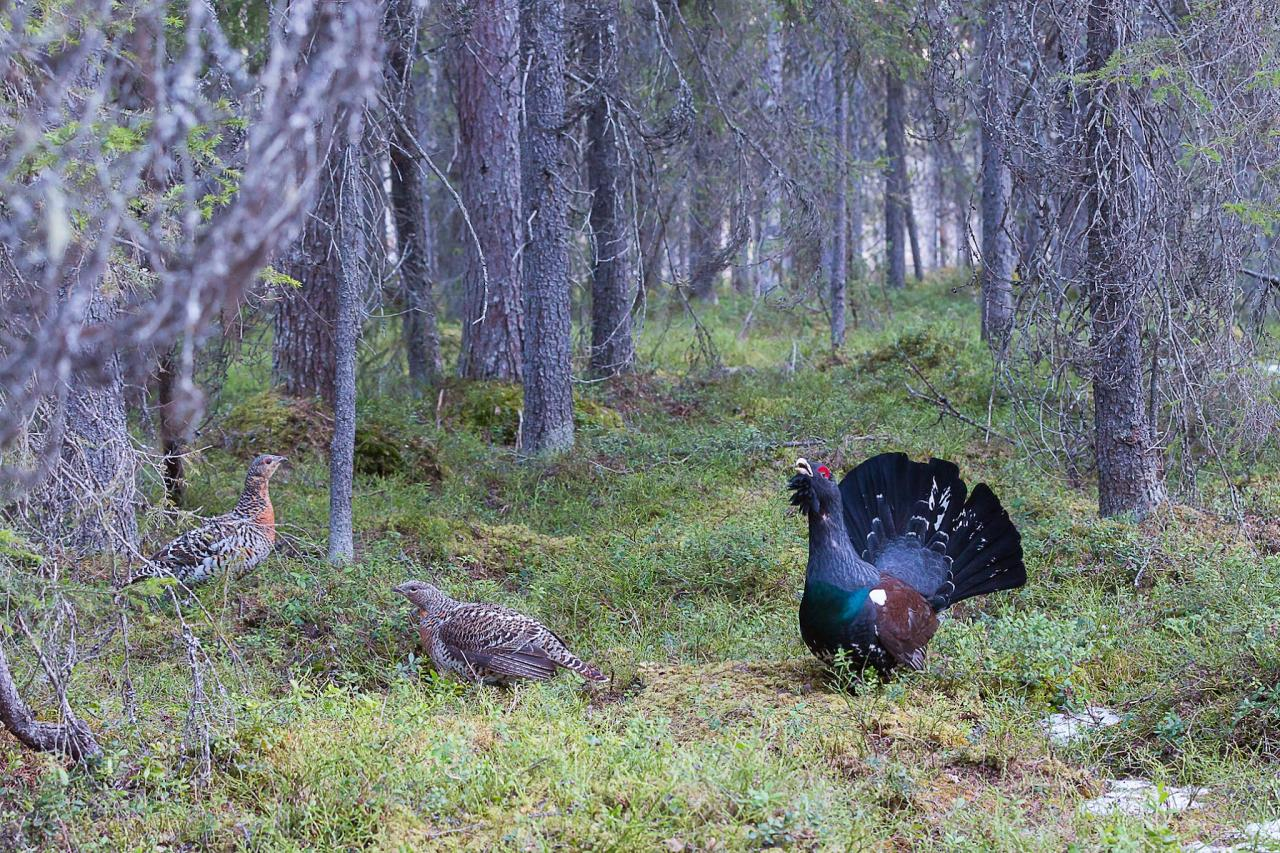 Capercaillie, Finland Birding Tour, Finland Nature Tours, Naturalist Journeys, Europe Birding, Norway, Norway Birding Tour