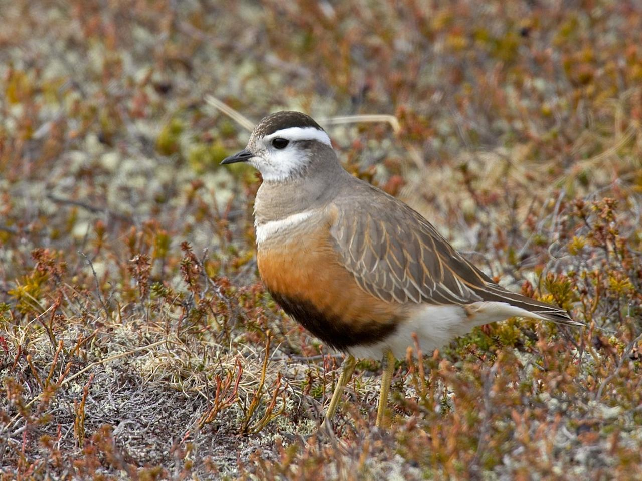 Dotterel, Finland Birding Tour, Finland Nature Tours, Naturalist Journeys, Europe Birding, Norway, Norway Birding Tour
