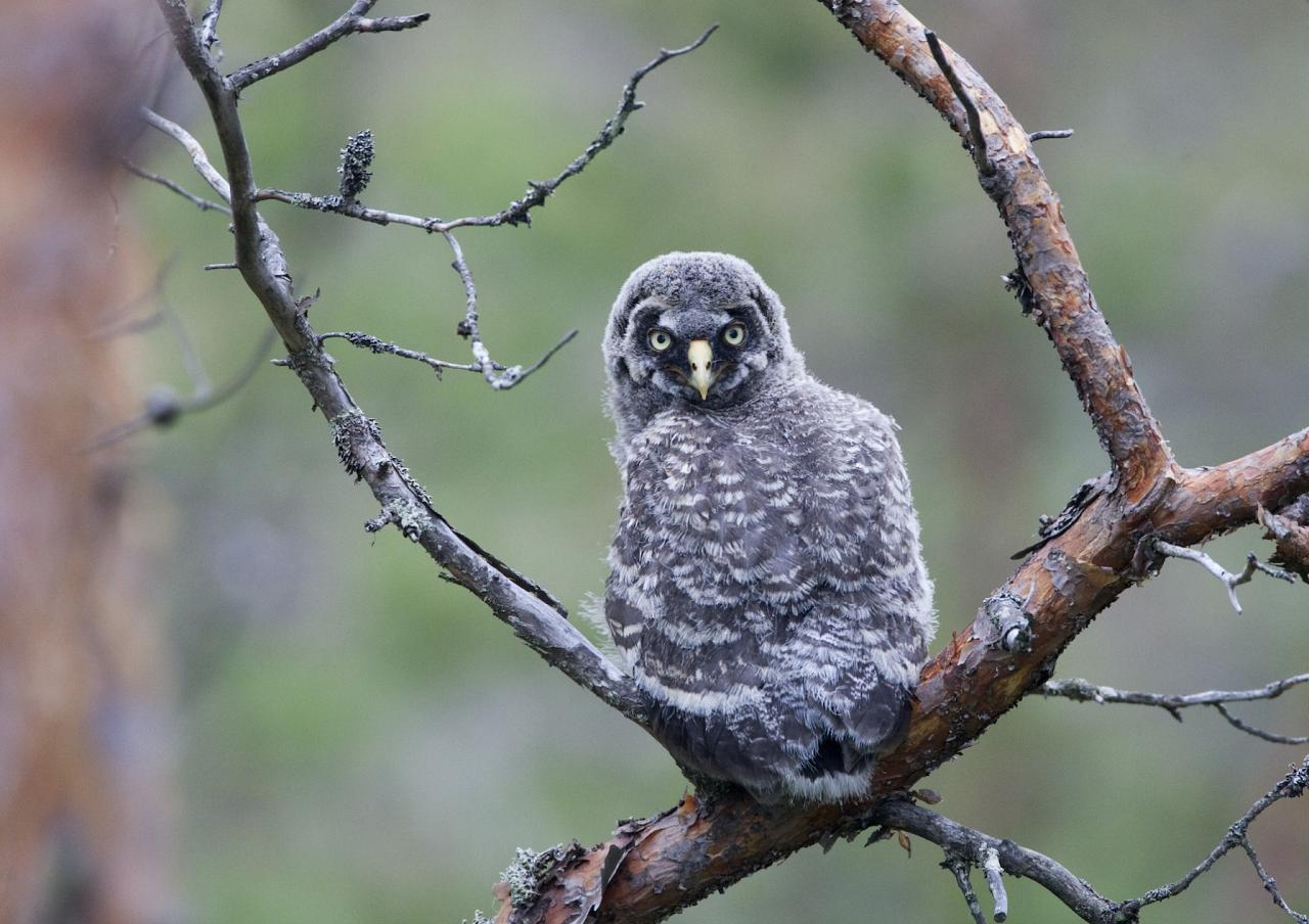 Great Gray Owl, Finland Birding Tour, Finland Nature Tours, Naturalist Journeys, Europe Birding, Norway, Norway Birding Tour