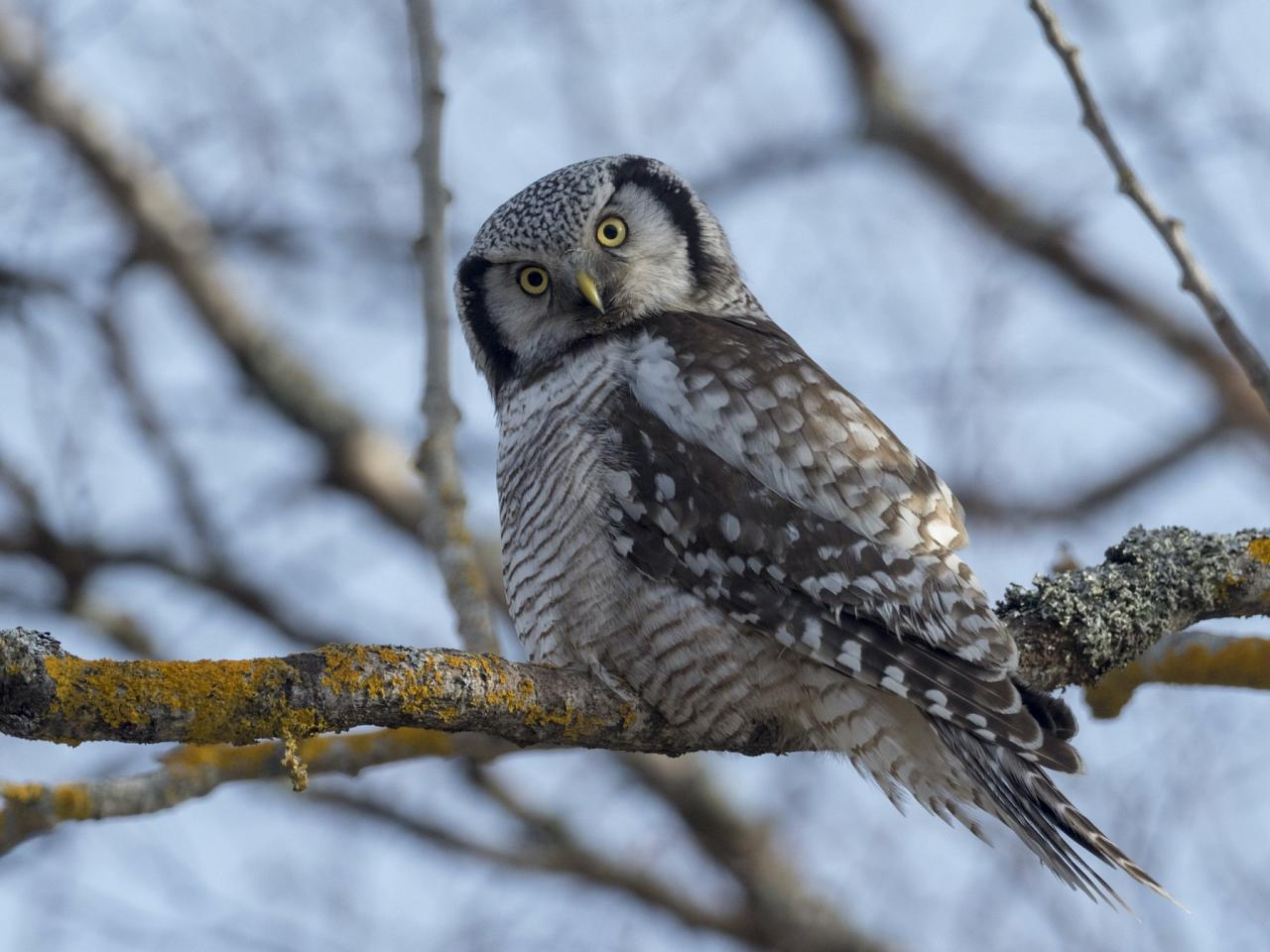 Hawk Owl, Finland Birding Tour, Finland Nature Tours, Naturalist Journeys, Europe Birding, Norway, Norway Birding Tour