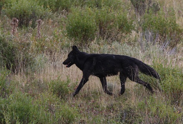 Black Wolf, Yellowstone National Park, Nature Tour, Wildlife Tour, National Park, Naturalist Journeys