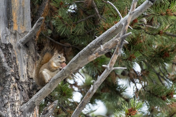 American Red Squirrel, Yellowstone National Park, Nature Tour, Wildlife Tour, National Park, Naturalist Journeys