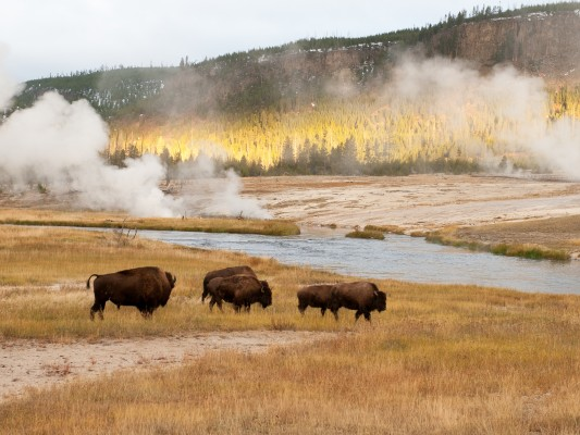Bison, Yellowstone National Park, Nature Tour, Wildlife Tour, National Park, Naturalist Journeys