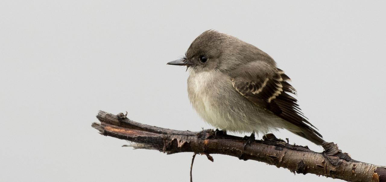 Willow Flycatcher, Yellowstone National Park, Nature Tour, Wildlife Tour, National Park, Naturalist Journeys