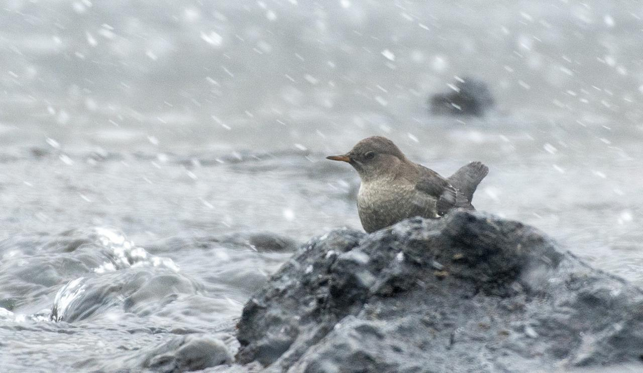 American Dipper, Yellowstone National Park, Nature Tour, Wildlife Tour, National Park, Naturalist Journeys