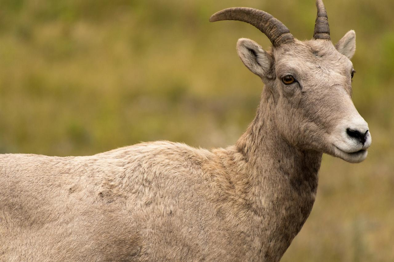 Bighorn Sheep, Yellowstone National Park, Nature Tour, Wildlife Tour, National Park, Naturalist Journeys
