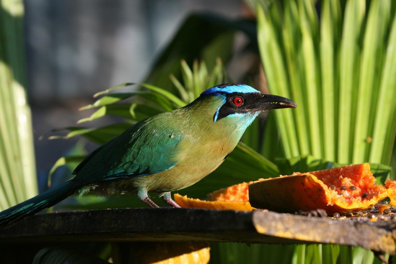 Blue-crowned Motmot, Costa Rica, Costa Rica Birding Tour, Costa Rica Nature Tour, Winter Costa Rica Tour, Naturalist Journeys