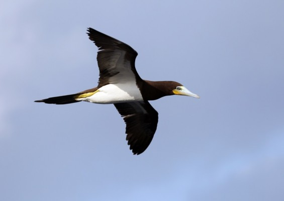 Brown Booby, Lesser Antilles Birding Tour, Naturalist Journeys, Lesser Antilles Endemics, Lesser Antilles Wildlife, Caribbean Birding