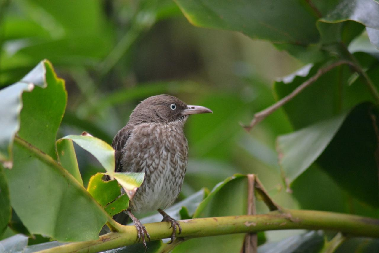 Pearly-eyed Thrasher, Lesser Antilles Birding Tour, Naturalist Journeys, Lesser Antilles Endemics, Lesser Antilles Wildlife, Caribbean Birding