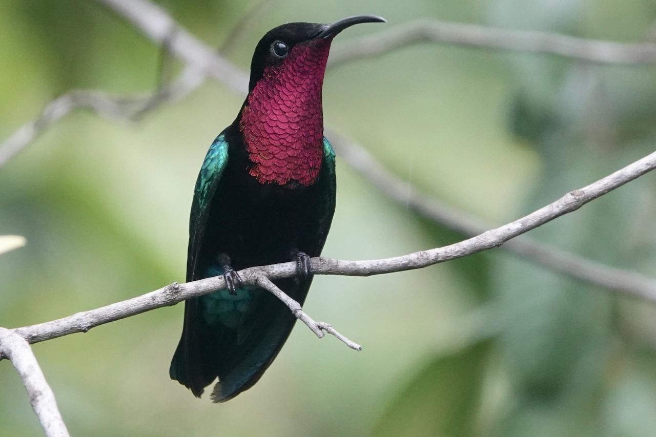 Purple-throated Carib, Lesser Antilles Birding Tour, Naturalist Journeys, Lesser Antilles Endemics, Lesser Antilles Wildlife, Caribbean Birding