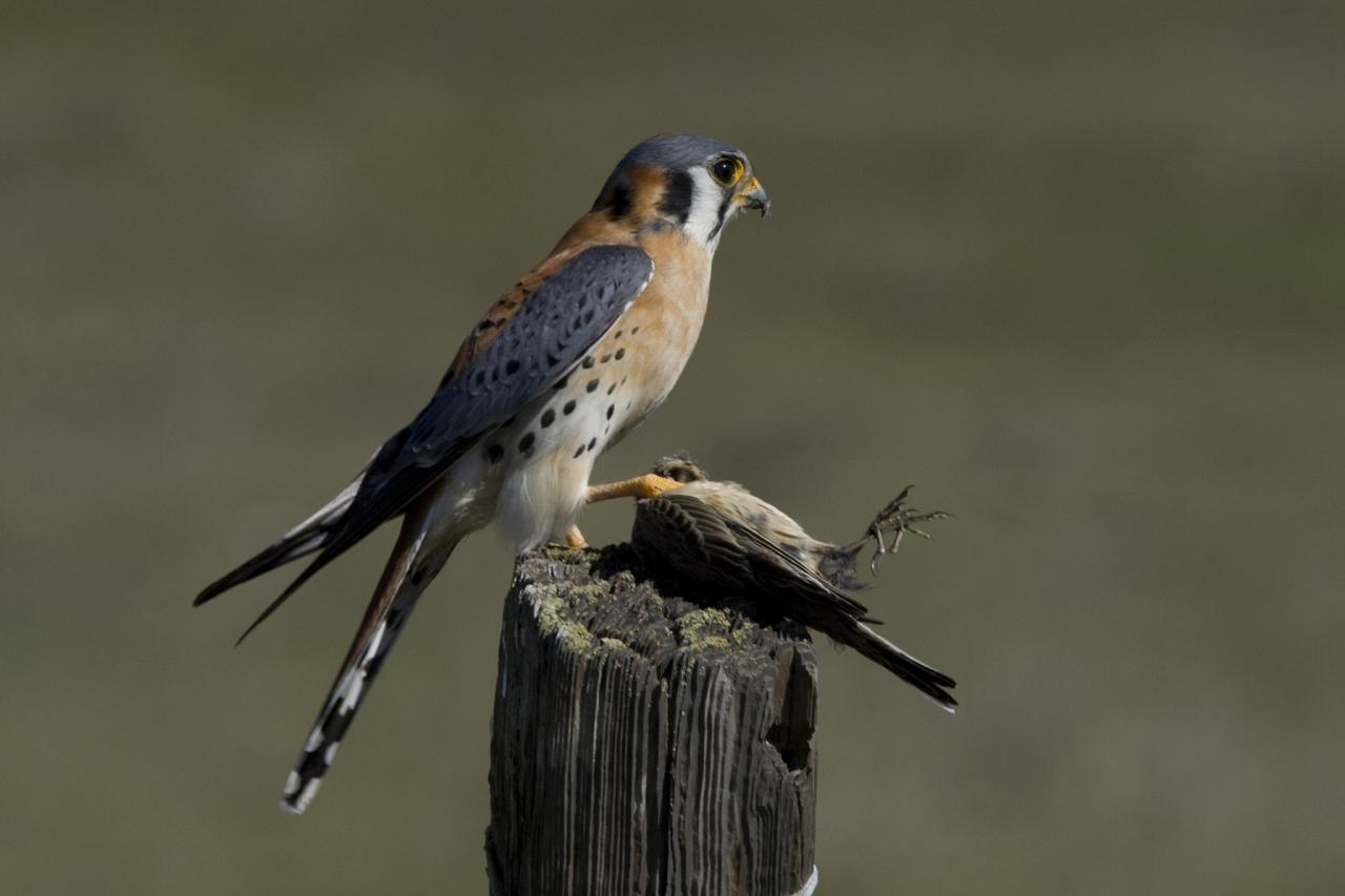 American Kestrel, Oregon, Oregon Wildlife Tour, Oregon Botany, Naturalist Journeys, Oregon birding tour