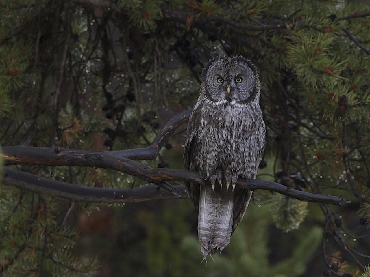 Great Grey Owl; Oregon, Oregon Wildlife Tour, Oregon Botany, Naturalist Journeys, Oregon birding tour