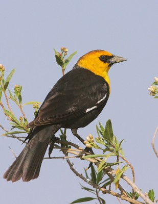 Yellow-headed Blackbird, Oregon, Oregon Wildlife Tour, Oregon Botany, Naturalist Journeys, Oregon birding tour