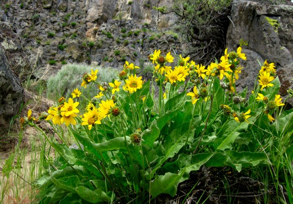 Arrowleaf Balsamroot, Oregon, Oregon Wildlife Tour, Oregon Botany, Naturalist Journeys, Oregon birding tour
