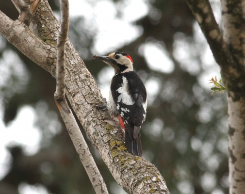 Syrian Woodpecker, Israel Birding Tour, Israel Nature Tour, Israel, Naturalist Journeys, Middle East Birding
