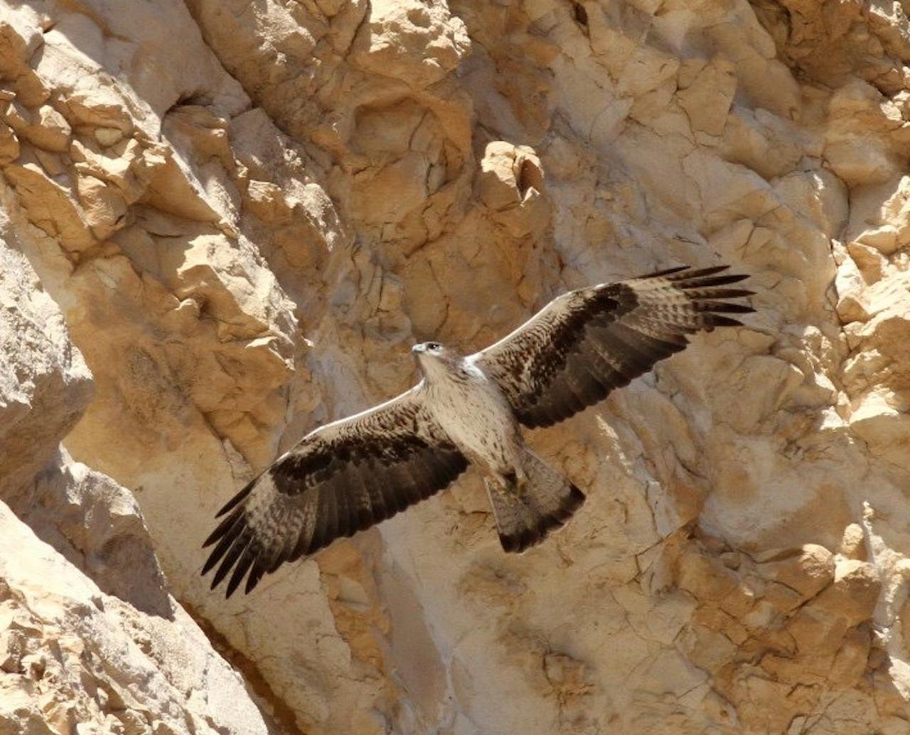 Bonelli's Eagle, Israel Birding Tour, Israel Nature Tour, Israel, Naturalist Journeys, Middle East Birding