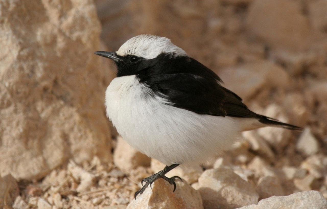 Eastern Mourning Wheatear, Israel Birding Tour, Israel Nature Tour, Israel, Naturalist Journeys, Middle East Birding
