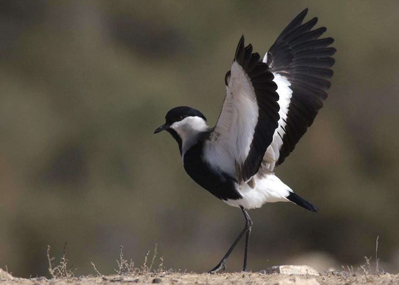 Spur-winged Lapwing, Israel Birding Tour, Israel Nature Tour, Israel, Naturalist Journeys, Middle East Birding
