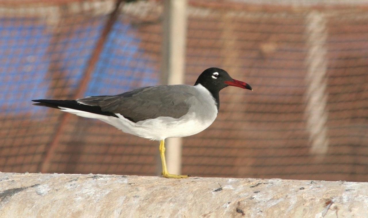 White-eyed Gull, Israel Birding Tour, Israel Nature Tour, Israel, Naturalist Journeys, Middle East Birding